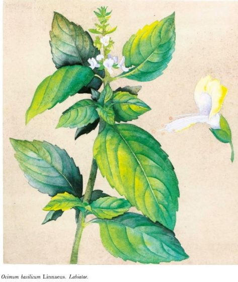 Basil has been a controversial herb from ancient times. Both the origin of its name and its reason for being has been constantly disputed.