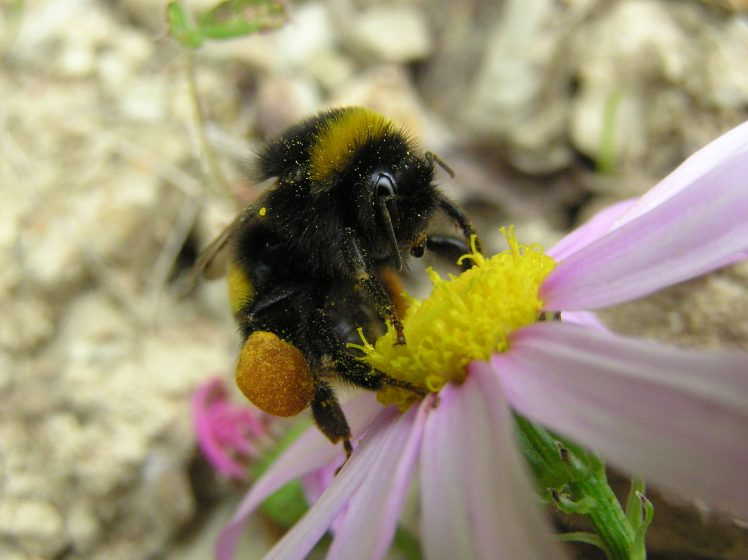 Bumblebees have some things in common with honey bees.