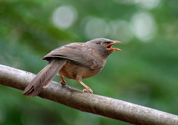 The common Babbler is a dingy brown bird belongs to the member of the Leiothrichidae family of Argya genus.