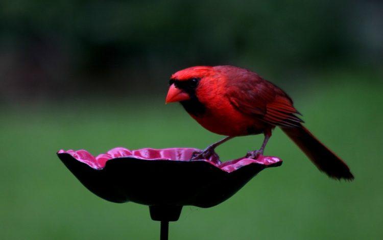 The northern cardinal (Cardinalis cardinalis) is a beautiful North American bird in the genus Cardinalis.
