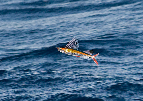 The glide path is very steep. Flying Fishes have a shallow glide path at high speed. They begin and end their flight at the same level.