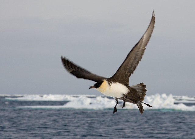 Pomarine Skua (Stercorarius pomarinus) is normally 46–51 cm in length (including tail up to 19 cm) with an average weight of 125–135 cm.