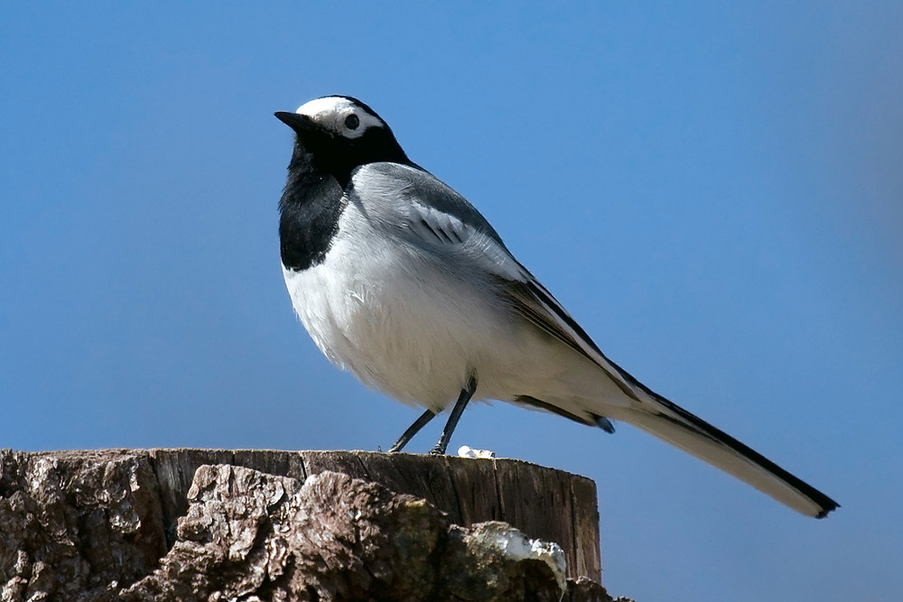 The Masked Wagtail