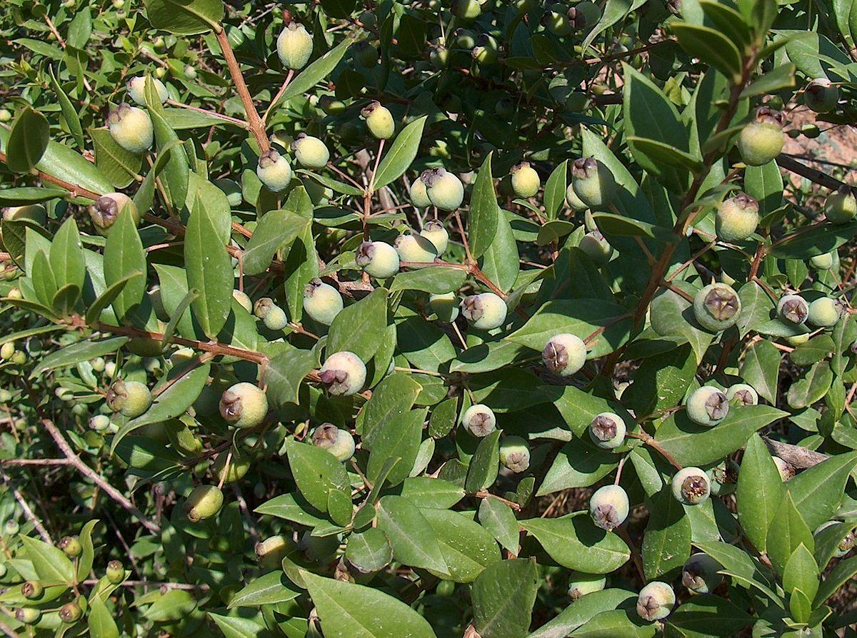 """Unripe myrtle berries of blue (""""black"""") variety."""