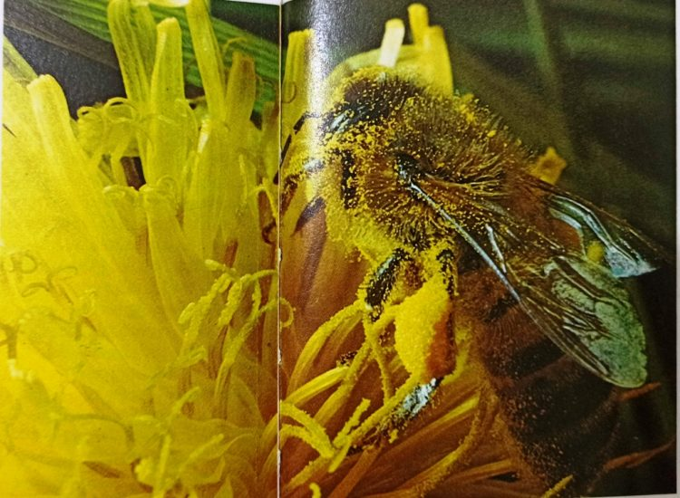 A honey bee worker on a flower head, pollen from the flower brushes on to the branches hairs that cover the bees body. The bee periodically combs the pollen grain into the baskets on its back legs. When it has a full load, the bee flies back to the nest and dumps it into empty cells where it is then packed down by other workers. Pollen provides almost all the bees' protein requirements and is particularly important for feeding the grubs and young adult bees.