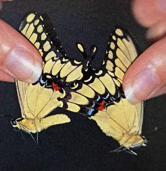 When attempting to get the butterflies to pair, it is important to select individuals that are of the right age. If the male is too young he will not mate successfully, and if the female is too old, she will produce infertile eggs.