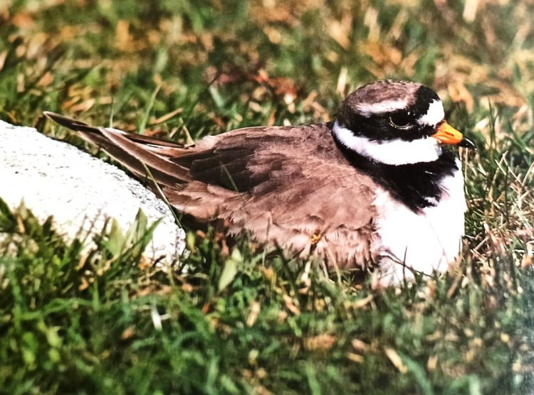A ringed plover is resting on the turf. There are two ways you can tell it is not a little ringed plover, even without seeing both birds together