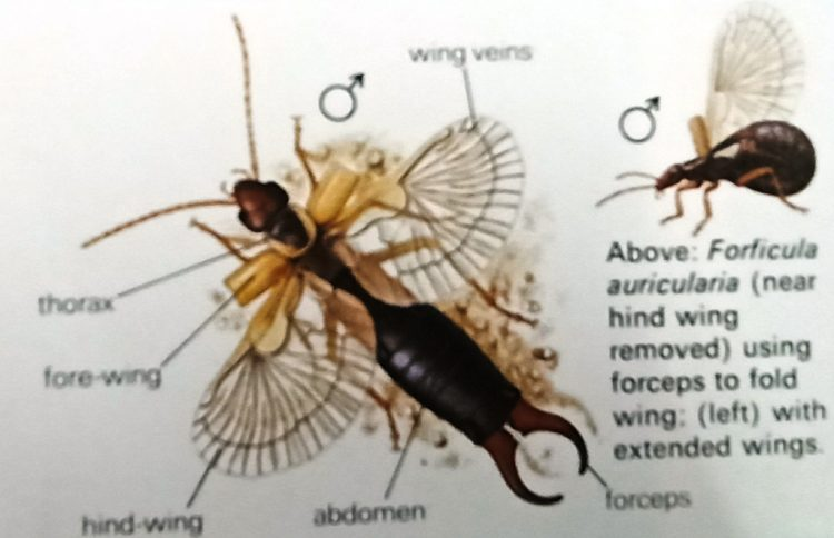 Life Cycle of Earwig - The earwig's large hind wings are thin and skin-like and their folding is an elaborate process often aided by the forceps.