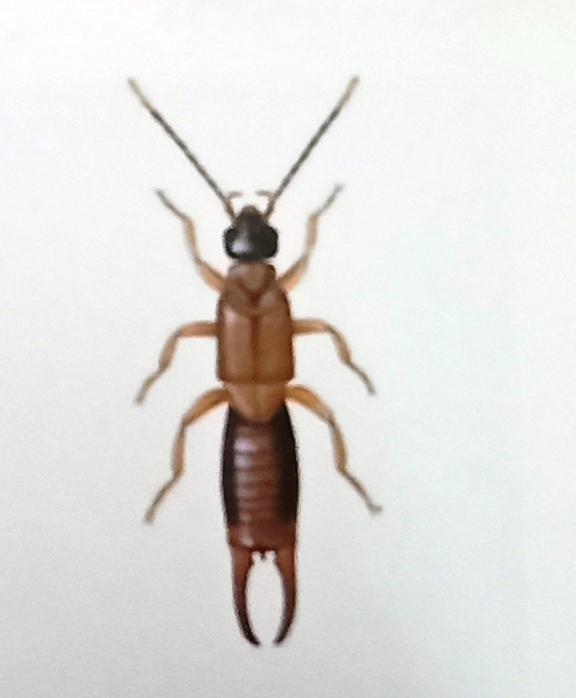 The lesser earwig (Labia minor) is half the size or less of the common earwig, at about 5mm long.