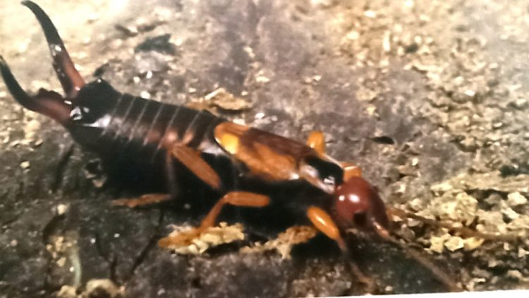 Life Cycle of Earwig - The common earwig is in an aggressive mood.