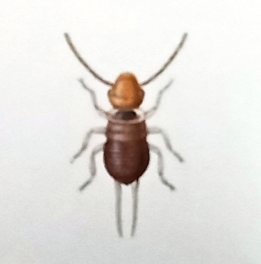 The wingless common earwig nymph looks similar to the adult