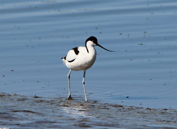 The availability of food differs as lagoon water evaporates in summer and salinity increases. This is a critical factor in the survival of avocet young.