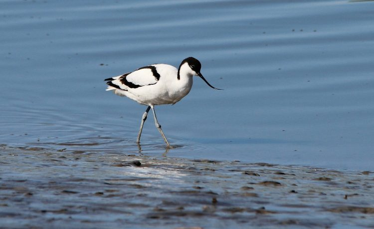 The avocet turns its eggs to ensure they get an equal amount of warmth.