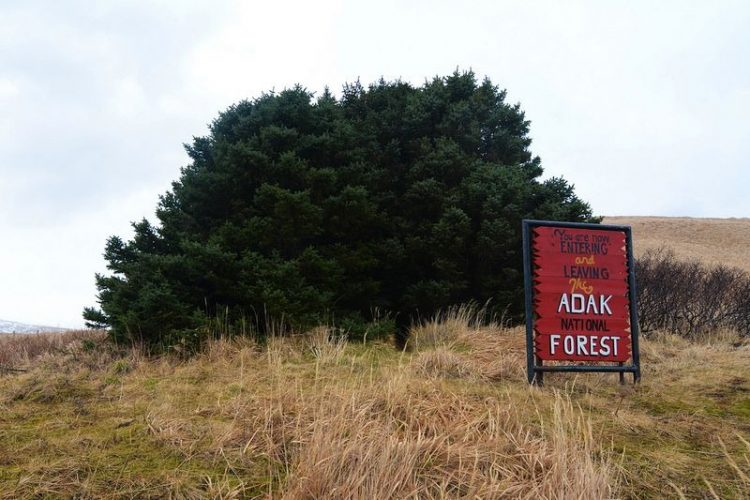 Adak National Forest is cluster of 33 pine trees at foot of small hill, on the remote Alaskan Island Adak at volcanic Aleutian archipelago.