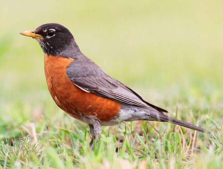 American Robin - Photo Credit - Wikipedia