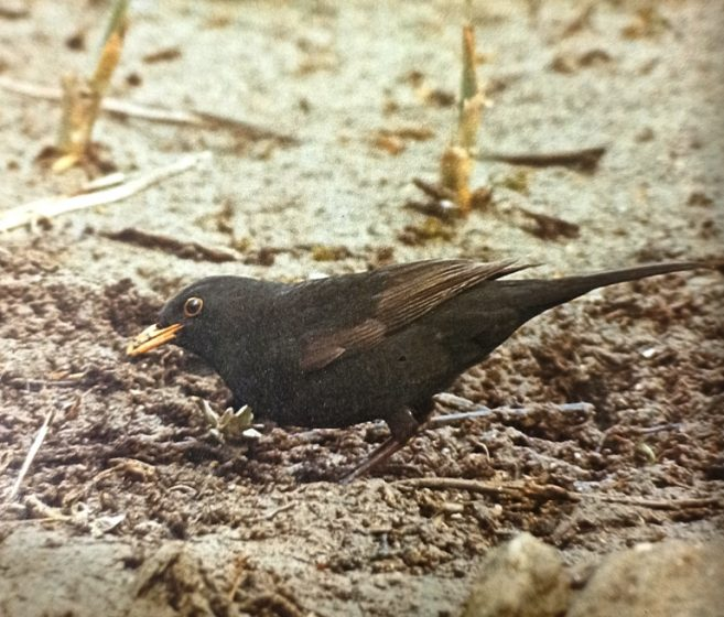 A young blackbird in first-year plumage with brown primary feathers