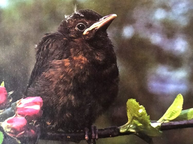 A juvenile blackbird which body features of the young birds often have rich brown center