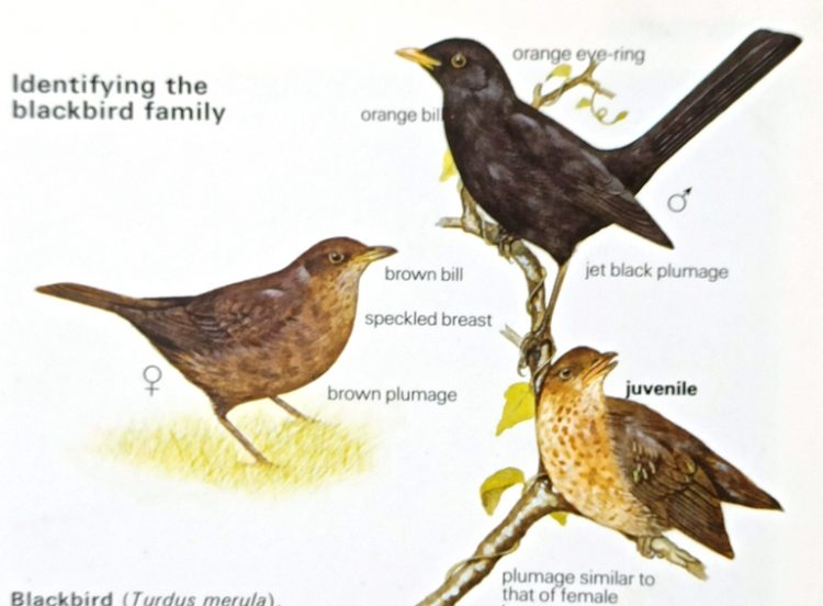 Blackbird (Turdus merula) Resident in town and country gardens, hedgerows, woodland edges throughout the British Isles 25cm