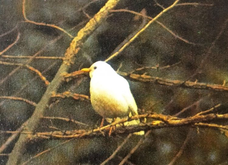 An albino blackbird - This species seems to be prone to albinism, as many records show.