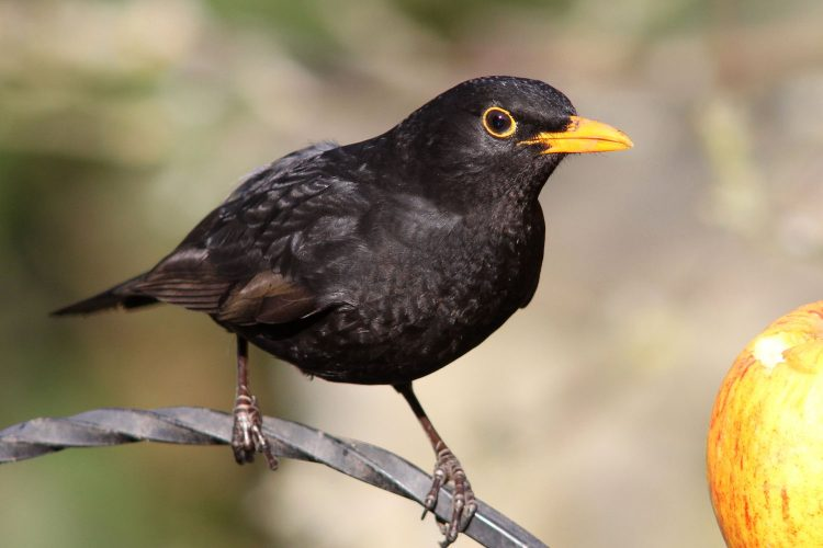 Blackbird The Number 10 Most Melodious Songbirds in the World