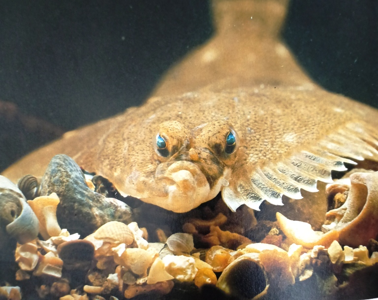 The plaice is a right eyed flatfish that is both its eyes are on the right side of its head.