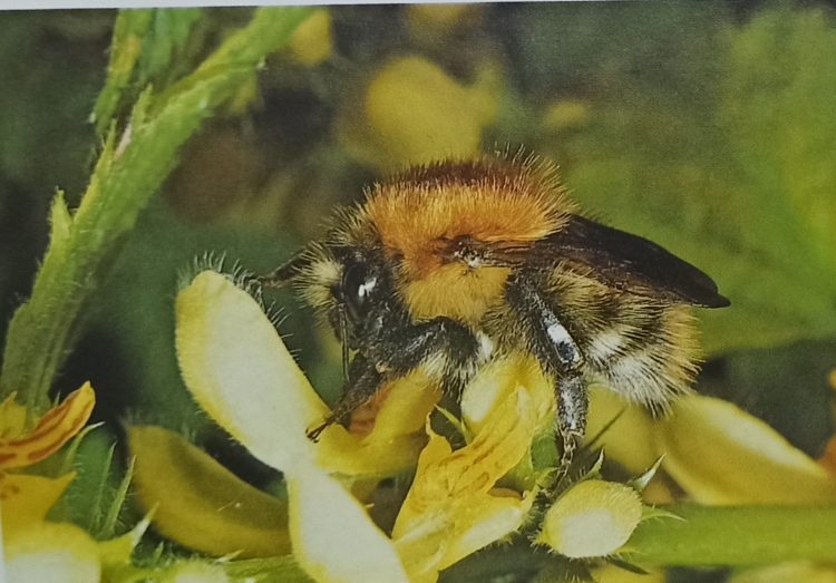 A bumble bee's most important function is the pollinating of flowers-Darwin was able to prove that the amount of clover seed produced in a field depends on the strength of the bumblebee population.
