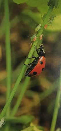 A 7-spot ladybird feeding on aphids and Ladybirds are allies of man because they prey on such pests.
