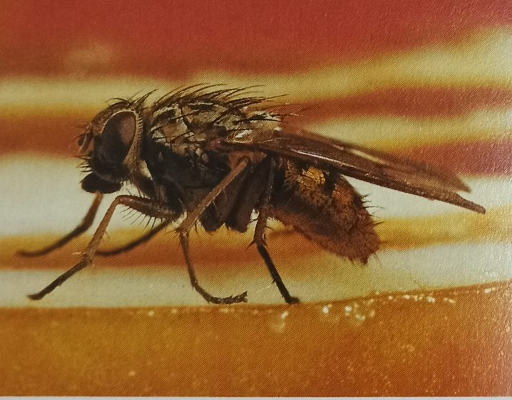 The housefly is unpopular since it deposits dangerous germs on food.The cockchafer and its larvae do great damage to plants.
