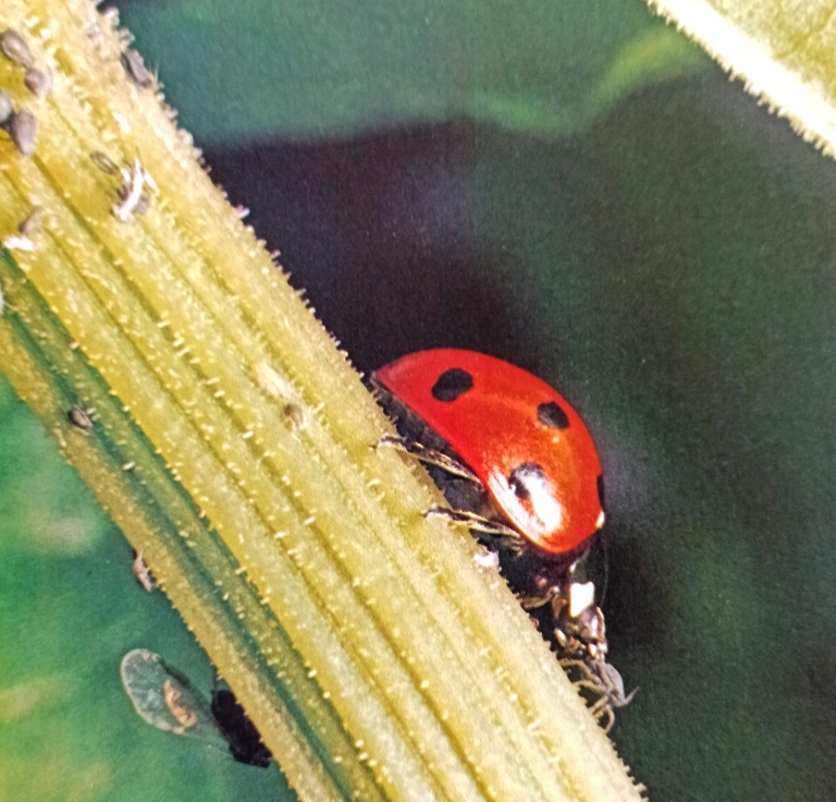 The 7 -spot ladybird, the commonest species, making a meal of an aphid. Ladybirds are voracious feeders and will turn up almost wherever there are aphids, a garden rose bush is a good place to search for them.