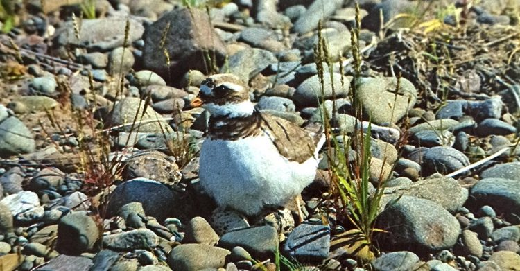 A ringed plover incubates its eggs, in a nest consisting of no more than a hollow among the pebbles.