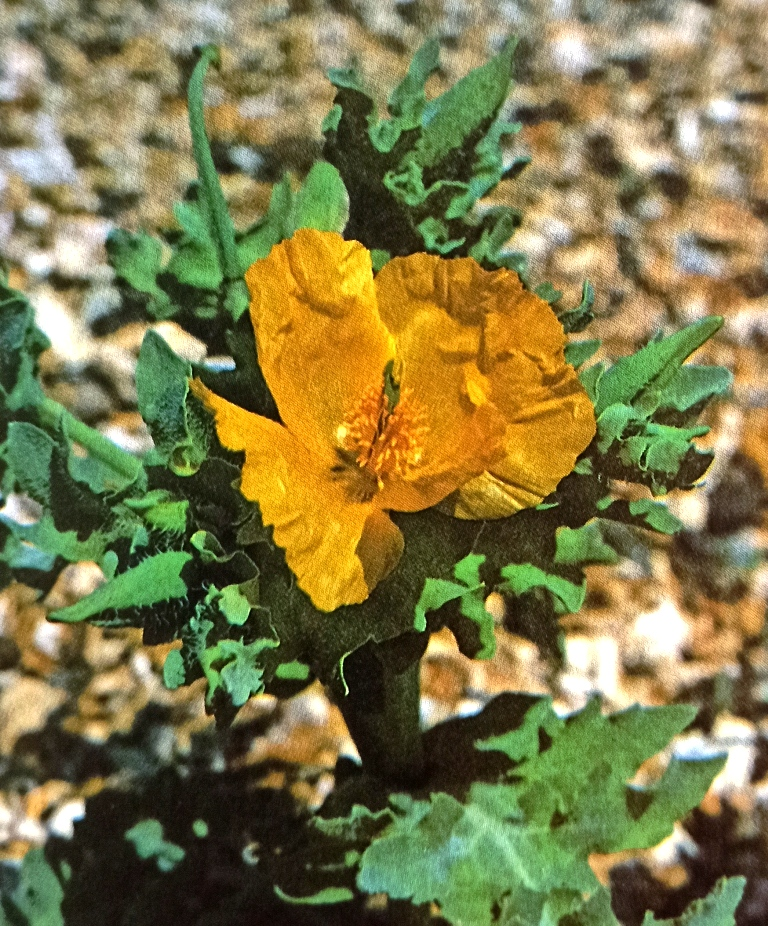 Yellow horned poppy is showing flowers and fruit together.