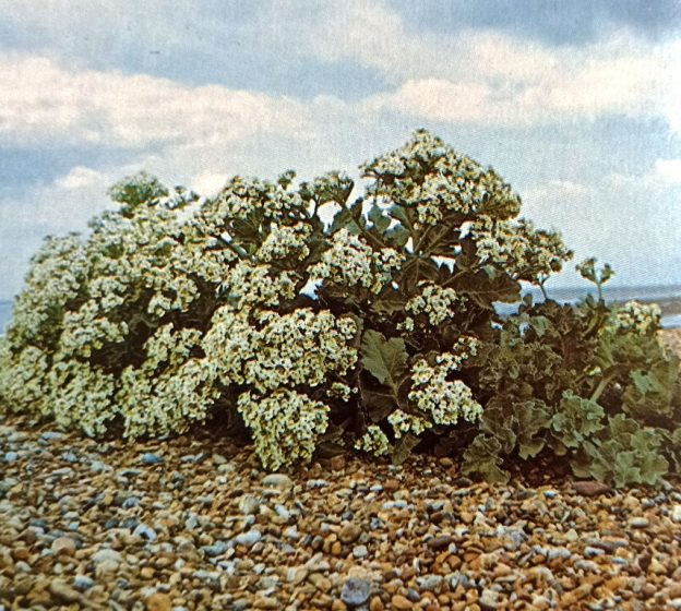 Sea kale in flower, a plant prized for its edible shoots. It is not common nowadays, perhaps as a result of too much harvesting in former times.