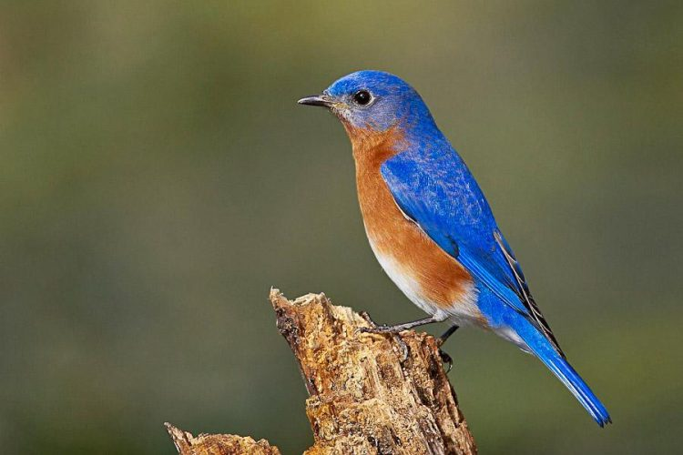 Eastern Bluebird is Number 9 Most Melodious Songbirds in the World
