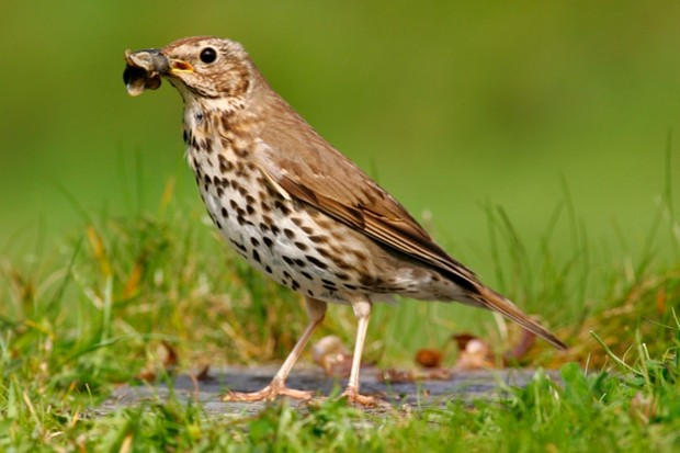 Most Melodious Songbirds in the World