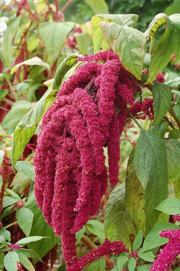 The Love-lies-Bleeding Plant (Amaranthus caudatus) is a very colorful and unusual plant that grows best when planted in a large group.