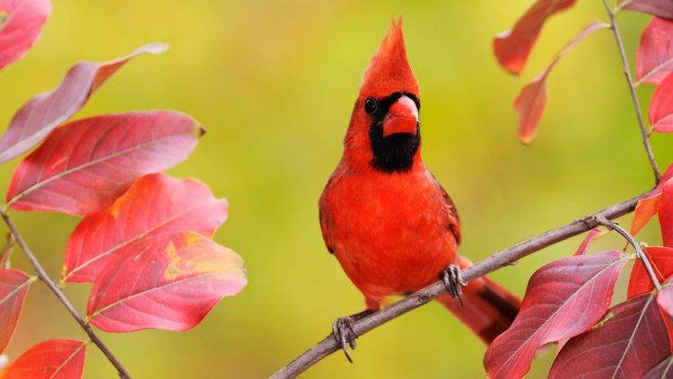Northern Cardinal is number 8 Most Melodious Songbirds in the World