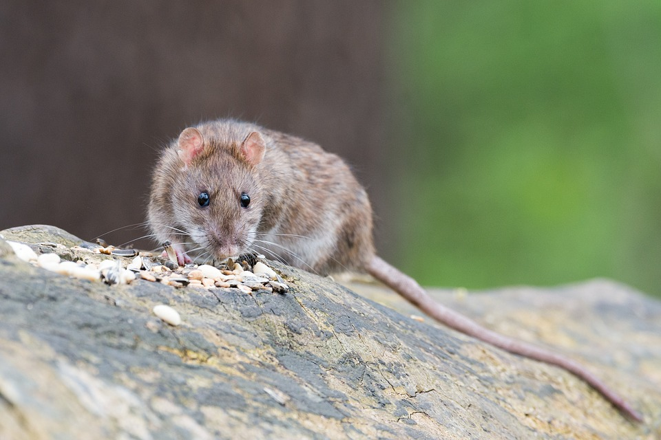 The Brown Rat thrives wherever man grows food and stores it for him and his animals, provided there is enough cover for living and nesting.